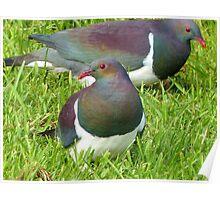 Join The Feast - Stewart Island Wild Wood Pigeon - Kererū  Poster