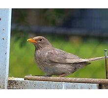 I Went For The Silver Not Gold!- Blackbird - NZ Photographic Print