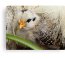 A Silkie Blanket Is All I Need For Warmth - Silver Duckwing - NZ Canvas Print