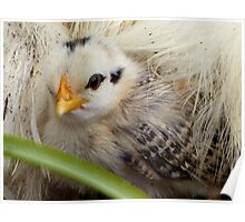 A Silkie Blanket Is All I Need For Warmth - Silver Duckwing - NZ Poster