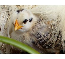 A Silkie Blanket Is All I Need For Warmth - Silver Duckwing - NZ Photographic Print