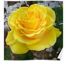 Golden Yellow Rose with Garden Background Poster