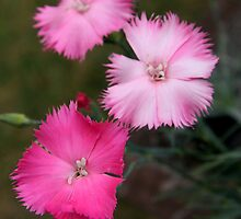 Pinks by coffeebean