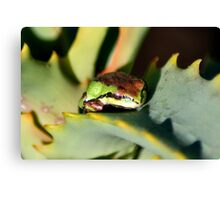 beautiful frog on succulent Canvas Print