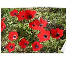Wild Anemone Flowers In A Spring Field  Poster