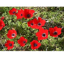 Wild Anemone Flowers In A Spring Field  Photographic Print