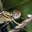 Australian Tiger Dragonfly close-up by Lesley Smitheringale