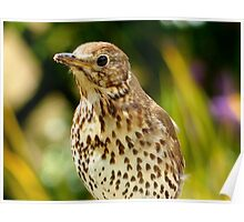 Four Hungry Mouths To Feed... Phew!!! -Song Thrush - NZ Poster