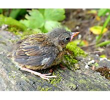 I'm A Beautiful Little Ugly.. Dunnock Hedge Sparrow - NZ Photographic Print