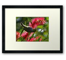 I Know It's In Here Somewhere!! - Silver-Eye On Bottle Brush - NZ Framed Print