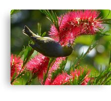 I Know It's In Here Somewhere!! - Silver-Eye On Bottle Brush - NZ Canvas Print
