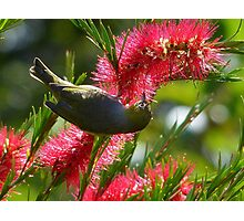 I Know It's In Here Somewhere!! - Silver-Eye On Bottle Brush - NZ Photographic Print