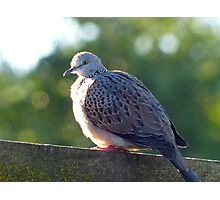 """I've Arrived At """"Tranquillity"""" - Spotted Dove - NZ Photographic Print"""