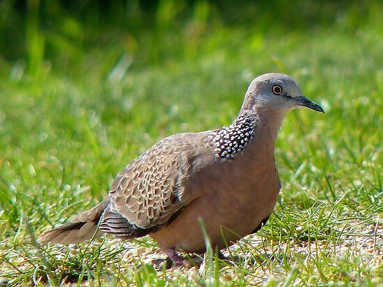 Come A Little Bit Closer... - Malay Spotted Dove - NZ by AndreaEL
