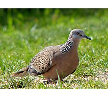 Come A Little Bit Closer... - Malay Spotted Dove - NZ Photographic Print