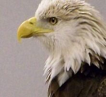 American Bald Eagle by Kadava