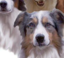 Austrailian Shepherds  Sticker