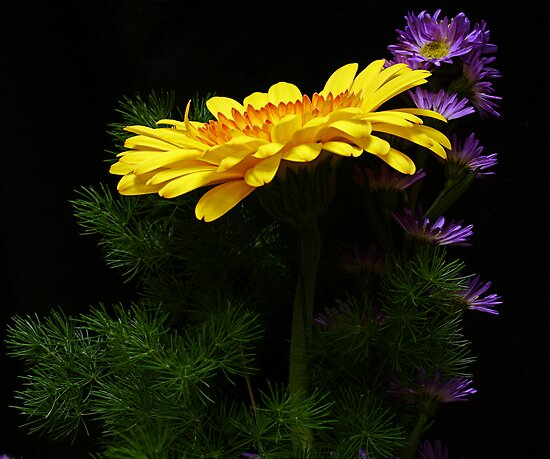 Yellow Gerber Daisy and Purple Daisies by Swede