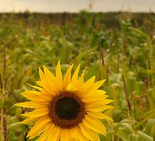 Sunflower by elmar rubio