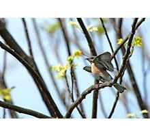 Frenzied Bluebird Female Photographic Print