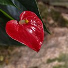 Anthurium by Elaine Teague