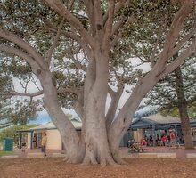 Moreton Bay Fig Tree, Busselton Foreshore, Western Australia by Elaine Teague