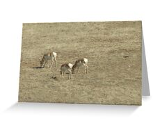 Prong Horn Antelope  Greeting Card