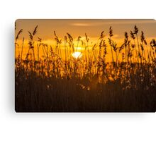 Sunset Golden Reeds Canvas Print