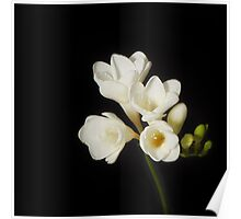 Purity: A White on Black Floral Study Poster