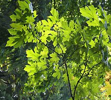 Spotlights On You - Maple Tree by Shawnna Taylor
