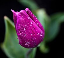 Tulip after rain by Lord Lee Hemmings KtGC.OBE.