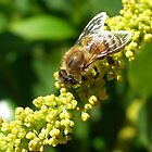 Bee on Wattle by WhitCanberra