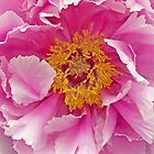 Pink Peony by Caren Grant