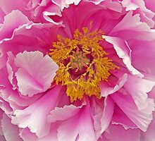 Pink Peony by Caren