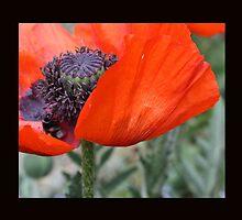 Poppy Petal by MichelleRees