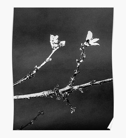 Peach Blossom Blowing In Wind; Black And White Poster