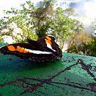 Iguazú butterfly by Elaine Stevenson