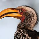 Yellow billed hornbill up close by jozi1