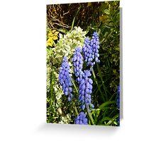 Edna's garden/ grape hyacinths Greeting Card