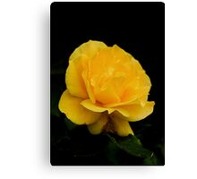 Golden Yellow Rose Isolated on Black Background Canvas Print