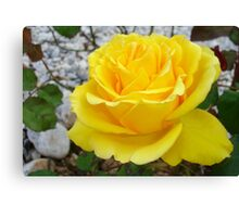 Beautiful Yellow Rose with Natural Garden Background Canvas Print