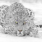 Panthera Pardus – Leopard by Steven Paul Carlson