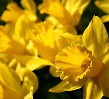 Daffodils by greenrockart