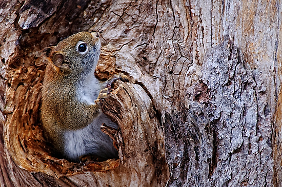 Red Squirrel - Ottawa, Ontario by Michael Cummings