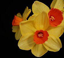 Daffodils by terrylazar