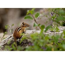 Chipmunk on Rocks - Ottawa, Ontario Photographic Print