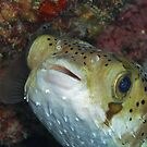 Happy Lil Puffer by Michael Powell