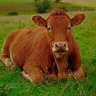 cow by Angus Beare