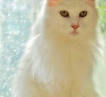Jim my White Maine coon by d300