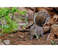 Gray Squirrel - Ottawa, Ontario Photographic Print